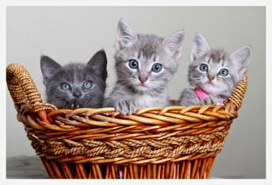 feline net webpage image