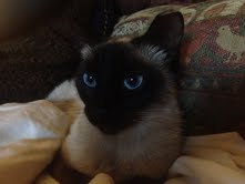 Siamese cat Sammy1
